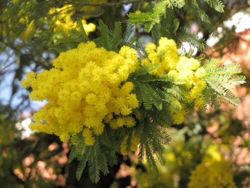 Mimosa - a flower for the soul